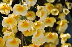 Dendrobiumlindleyi steud Royalty-vrije Stock Foto