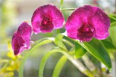dendrobiumorchid Arkivfoto