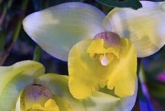 dendrobiumorchid Arkivbilder
