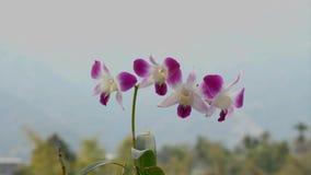 Dendrobiumorchideeën in zonnige dag stock video