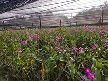 Dendrobiumorchidee Stock Fotografie
