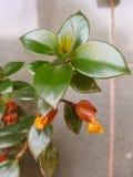 Dendrobiumorchidee Stock Afbeelding