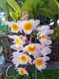 Dendrobiumorchidee Stock Foto