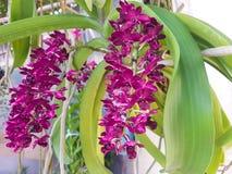 Dendrobiumorchidee Royalty-vrije Stock Afbeelding