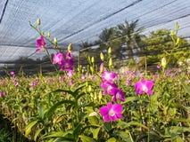 Dendrobiumorchidee in de tuin Stock Foto's