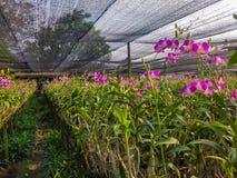 Dendrobiumorchidee in de tuin Royalty-vrije Stock Fotografie