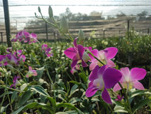 Dendrobiumorchidee in de tuin Stock Afbeelding