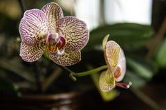 Dendrobiumorchidee het baden in natuurlijk vensterlicht Royalty-vrije Stock Foto