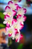 Dendrobiumorkidé Arkivbild