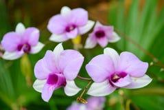 Dendrobiumorkidé Arkivfoto