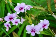 Dendrobiumorkidé Fotografering för Bildbyråer
