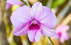 Dendrobiumorkidé Royaltyfri Foto