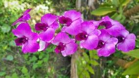 Dendrobiumorkidé Royaltyfria Foton
