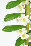 Dendrobiumorkidé som isoleras på vit Royaltyfri Bild