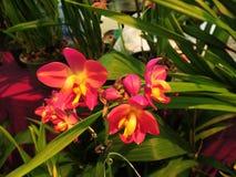 Dendrobiumorkidéblommor Royaltyfria Foton
