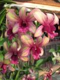Dendrobiumorkidéblommor Royaltyfria Bilder