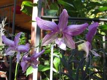 Dendrobiumorkidéblommor Royaltyfri Foto
