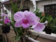Dendrobiumorkidéblommor Fotografering för Bildbyråer