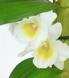 Dendrobiumorkidécloseup som isoleras på vit Arkivbild