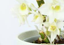 Dendrobiumorkidécloseup som isoleras på vit Fotografering för Bildbyråer