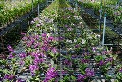 Dendrobiumorkidélantgård. Royaltyfria Foton