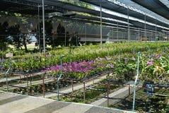 Dendrobiumorkidélantgård. Royaltyfria Bilder