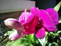 Dendrobiumorkidé Royaltyfria Bilder