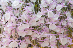 Dendrobiumpirmulinumorkidé Royaltyfria Foton