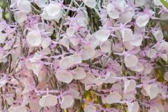 Dendrobiumpirmulinumorkidé Royaltyfria Bilder
