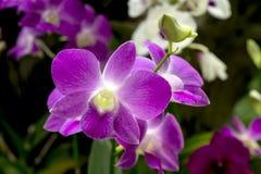 Dendrobiumrosa färgorkidér Royaltyfri Fotografi