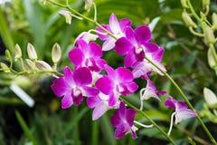 Dendrobiums orchidee w ogródzie obrazy stock