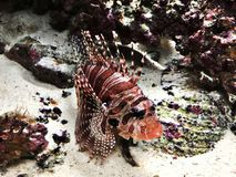 Free Dendrochirus Zebra Or Zebra Turkeyfish Or Zebra Lionfish Or Dwarf Lionfish. Stock Photography - 128303552