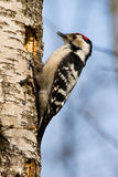 dendrocopos少许较小被察觉的啄木鸟 免版税库存照片