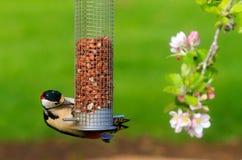 dendrocopos极大的专业被察觉的啄木鸟 免版税库存图片