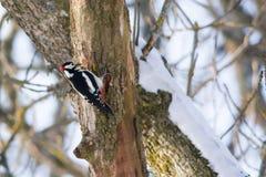 dendrocopos母极大的专业被察觉的啄木鸟 免版税库存照片