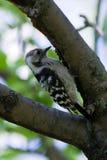 dendrocopos меньший небольшой запятнанный woodpecker Стоковая Фотография RF
