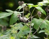 dendrocopos меньший небольшой запятнанный woodpecker Стоковые Изображения RF