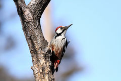The White-backed Woodpecker (Dendrocopos leucotos). Woodpeckers is the doctors in forest Stock Images