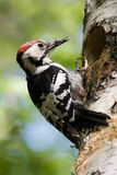 Dendrocopos leucotos, White-backed Woodpecker Royalty Free Stock Photo