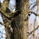 Dendrocopos leucotos, White-backed Woodpecker Royalty Free Stock Images