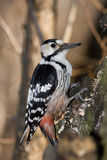 Dendrocopos leucotos, White-backed Woodpecker Stock Photography