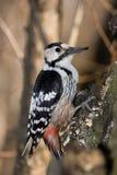 Dendrocopos leucotos, White-backed Woodpecker Stock Photography
