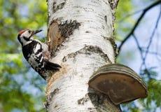 Dendrocopos leucotos, White-backed Woodpecker Royalty Free Stock Photos