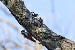 Dendrocopos leucotos, White-backed Woodpecker. Stock Images