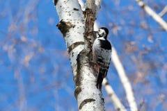 Dendrocopos leucotos, White-backed Woodpecker. Stock Photo
