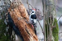 Dendrocopos leucotos, White-backed Woodpecker. Stock Photos