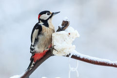 Dendrocopos major, Great spotted woodpecker. Dendrocopos major or Great spotted woodpecker royalty free stock photos
