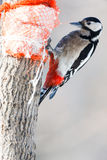 Dendrocopos major, Great spotted woodpecker. Hammer-holding is a common way for the woodpeckers to deal with food items. Female stock photo