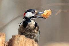 Dendrocopos major, Great spotted woodpecker. Bird with prey item royalty free stock images