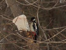 Dendrocopos major. Red-tailed woodpecker eats lard stock photos
